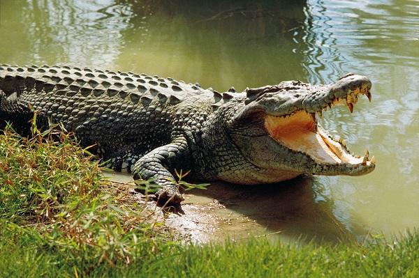 Những Sự Thật Về Loài Cá Sấu & Đồ Da Cá Sấu Chính Hãng